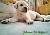 Cuccioli labrador pedigree enci